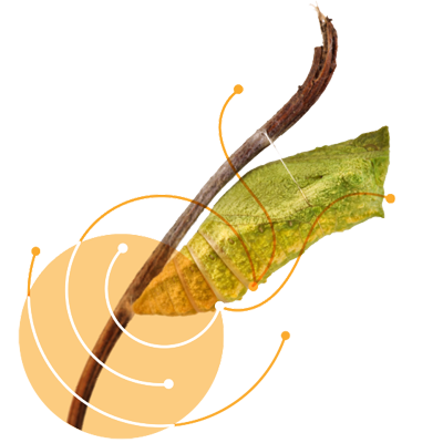A chrysalis on a branch